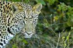 Thumbnail Leopard (Panthera pardus), Okavango Delta, Botswana, Africa