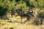 Thumbnail Impalas (Aepyceros melampus), Okavango Delta, Botswana, Africa
