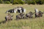 Thumbnail Blue Wildebeest (Connochaetes taurinus), Okavango Delta, Botswana, Africa
