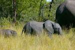 Thumbnail African elephants (Loxodonta africana), Okavango Delta, Botswana, Africa