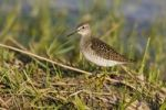 Thumbnail Greenshank (Tringa nebularia), Warmsee lake, Burgenland, Austria, Europe