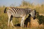 Thumbnail Plains Zebra or Burchell's Zebra (Equus quagga), Ithala National Park, South Africa, Africa