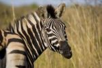 Thumbnail Plains Zebra or Burchell's Zebra (Equus quagga), Ithala National Park, South Africa, Africa