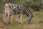 Thumbnail Plains Zebra or Burchell's Zebra (Equus quagga) with young, Ithala National Park, South Africa, Africa