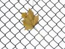 Thumbnail Autumn leaf hanging o a fence