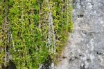 Thumbnail Climbing plants on stone wall, Cala Figuera, Majorca, Balearic Islands, Spain, Europe