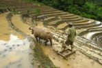 Thumbnail Rice farmer plowing his rice paddy with the help of a water buffalo, rice terraces, Phongsali or Phongsaly District and Province, Laos, Southeast Asia, Asia