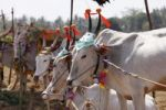 Thumbnail Decorated Zebu or humped cattle, cattle market south of Hunsur, Karnataka, South India, India, South Asia, Asia