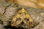 Thumbnail Mottled Umber (Erannis defoliaria)