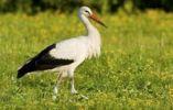 Thumbnail White Stork (Ciconia ciconia), Apetlon, Burgenland, Austria, Europe