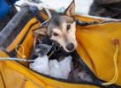 Thumbnail Injured or tired sled dog transported in basket, sled bag, Alaskan Husky, Dawson City, Yukon Quest 1, 000-mile International Sled Dog Race 2010, Yukon Territory, Canada