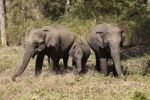 Thumbnail Asian, Asiatic or Indian elephants (Elephas maximus), two females and a juvenile, Rajiv Gandhi National Park, Nagarhole National Park, Karnataka, South India, India, South Asia, Asia