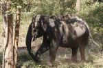Thumbnail Asian, Asiatic or Indian elephant (Elephas maximus), Rajiv Gandhi National Park, Nagarhole National Park, Karnataka, South India, India, South Asia, Asia