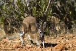 Thumbnail quotJoequot Young Big red Kangaroo, Macropus rufus juvenile