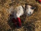 Thumbnail Resting sled dog, foot bandages, Alaskan Husky, straw, Pelly Crossing checkpoint, Yukon Quest 1, 000-mile International Sled Dog Race 2010, Yukon Territory, Canada