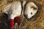 Thumbnail Resting sled dog, wrist bandages, Alaskan Husky, straw, Pelly Crossing checkpoint, Yukon Quest 1, 000-mile International Sled Dog Race 2010, Yukon Territory, Canada