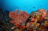 Thumbnail Colorful coral reef with Sea Fan (Gorgonaria sp.), Indian Ocean, Indonesia, Southeast Asia