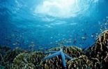 Thumbnail Blue Starfish (Linckia laevigata) on Fire Corals (Milepora sp.)