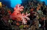 Thumbnail Coral reef with soft coral (Alcyonaria sp.), Komodo, Flores, Indonesia, Southeast Asia