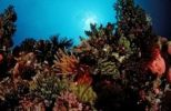 Thumbnail Coral reef with colorful Feather Stars (Crinoidea), Komodo, Flores, Indonesia, Southeast Asia