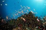 Thumbnail Coral reef with Anthias (Anthiinae sp.), Manado, Sulawesi, Celebes Sea, Indonesia, Southeast Asia