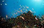Thumbnail Coral reef with Anthias (Anthiinae sp.), Manado, Sulawesi, Celebes Sea, Indonesia, Southeast Asia