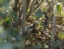 Thumbnail Mating Dhaman or Oriental ratsnakes (Ptyas mucosus), Mudumalai National Park, Tamil Nadu, Tamilnadu, South India, India, South Asia, Asia