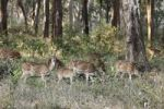Thumbnail Group of axis deer, chitals (Axis axis), Mudumalai National Park, Tamil Nadu, Tamilnadu, South India, India, South Asia, Asia