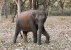 Thumbnail Elephant in the forest, Asian or Asiatic elephant (Elephas maximus), Mudumalai National Park, Tamil Nadu, Tamilnadu, South India, India, South Asia, Asia