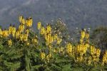 Thumbnail Popcorn Cassia (Cassia didymobotrya), India, South Asia, Asia