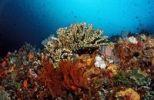 Thumbnail Coral reef, Komodo, Flores Sea, Indonesia