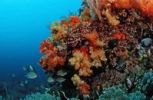Thumbnail Coral reef with Soft Corals (Alcyonaria sp.), Komodo, Indian Ocean, Indonesia