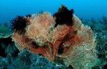 Thumbnail Sea Fan with Crinoids (Gorgonaria sp., Crinoidea), Komodo, Indian Ocean, Indonesia