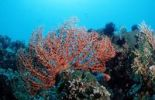 Thumbnail Sea Fan (Gorgonaria sp.) at coral reef, Bali, Indian Ocean, Indonesia