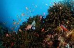 Thumbnail Coral reef with Angelfish (Pomacanthus imperator), Komodo, Indian Ocean, Indonesia