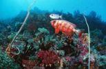 Thumbnail Coral reef with Bigeyes (Priacanthus hamrur), Waktobi, Celebes Sea, Sulawesi, Indonesia