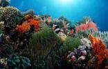 Thumbnail Clarks Anemonefish (Amphiprion clarkii), Waktobi, Celebes Sea, Sulawesi, Indonesia