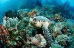 Thumbnail Hawksbill turtle (Eretmochelys imbricata), Waktobi, Celebes Sea, Sulawesi, Indonesia