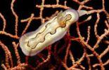 Thumbnail Nudibranch (Chromodoris coi), Waktobi, Celebes Sea, Sulawesi, Indonesia