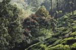 Thumbnail Tea plantations and flowering trees in the highlands around Munnar, Western Ghats, Kerala, India, South Asia, Asia