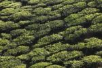 Thumbnail Tea plantations in the highlands around Munnar, Western Ghats, Kerala, India, South Asia, Asia