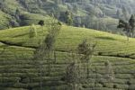 Thumbnail Tea plantations with trees in the highlands around Munnar, Western Ghats, Kerala, India, South Asia, Asia