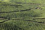 Thumbnail Tea plantations, highlands around Munnar, Western Ghats, Kerala, India, South Asia, Asia
