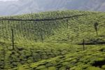 Thumbnail Tea plantations, highlands around Munnar, Western Ghats, Kerala, India, South Asia, Asia