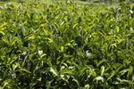 Thumbnail Tea leaves, detail of tea plants, tea plantations, Munnar, Kerala, India, South Asia, Asia