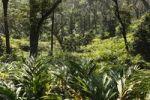 Thumbnail Cardamom plantation, Cardamom Hills, Western Ghats, Kerala, India, South Asia, Asia