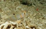 Thumbnail Randall's Shrimp Goby or Orange-stripe prawn goby (Amblyeleotris randalli), Wakatobi, Celebes Sea, Sulawesi, Indonesia, Southeast Asia, Asia