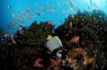 Thumbnail Coral Reef with Emperor Angelfish (Pomacanthus imperator), Komodo, Indo-Pacific, Indonesia, Southeast Asia, Asia