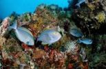 Thumbnail Elongate surgeonfish (Acanthurus mata) on a coral reef, Komodo, Indo-Pacific, Indonesia, Southeast Asia, Asia