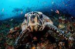 Thumbnail Curious Hawksbill turtle (Eretmochelys imbricata), Komodo, Indo-Pacific, Indonesia, Southeast Asia, Asia